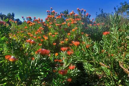 protea-campo-abandonado-la-palma-kanaren