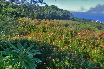 protea-campo-barlovento-enero-la-palma-kanaren