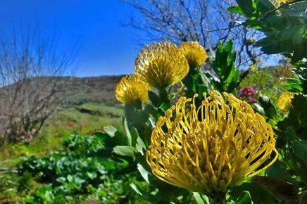 protea-high-gold-leucospermum