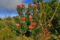 protea-scarlet-ribbon-febrero-la-palma-kanaren-blumen