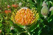 protea-veldfire-amarilla-barlovento-enero-la-palma-kanaren
