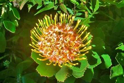 protea-veldfire-amarilla-la-palma-kanaren