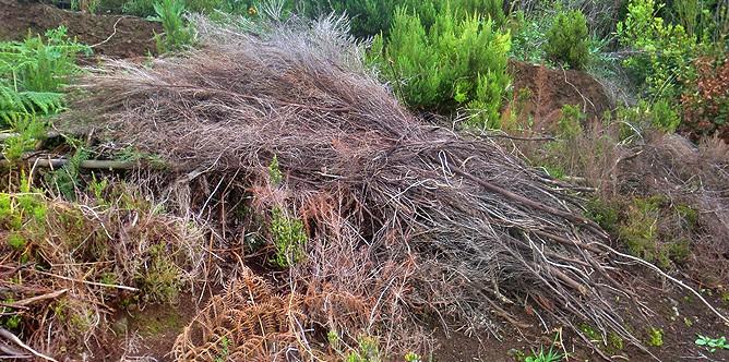 brezo-baumheide-erica-arborea-charasca