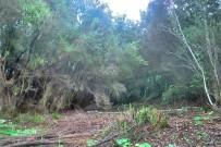brezo-baumheide-erica-arborea-cortada