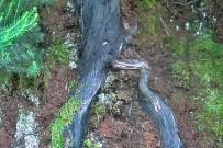brezo-baumheide-erica-arborea-raiz-wurzel