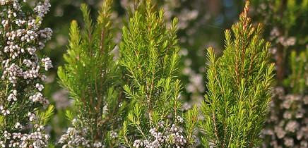 brezo-baumheide-erica-arborea-reventado