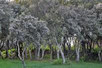 brezo-baumheide-erica-arborea-volle-bluete