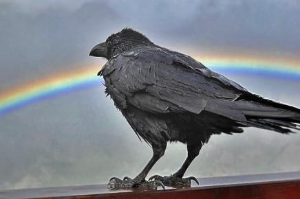 cuervo-kanarischer-rabe-corvus-corax-canariensis-bacan