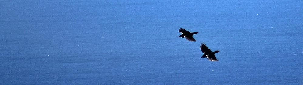 Cuervo canario | La Palma Travel