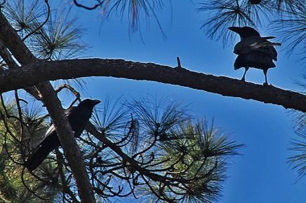 cuervo-kanarischer-rabe-corvus-corax-canariensis-pareja