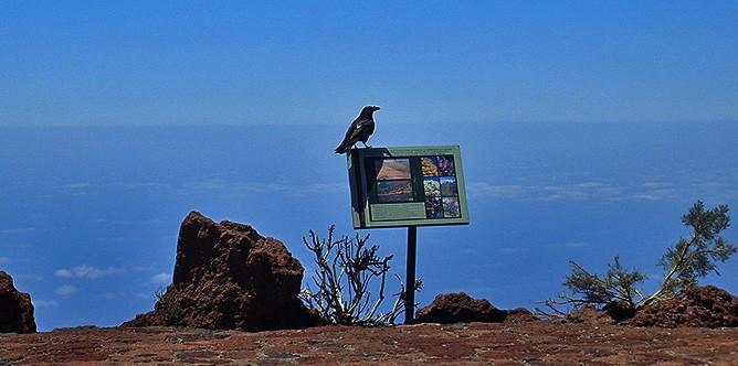 cuervo-kanarischer-rabe-corvus-corax-canariensis-roque