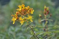 hypericum-canariensis-kanarisches-johanniskraut-granadillo