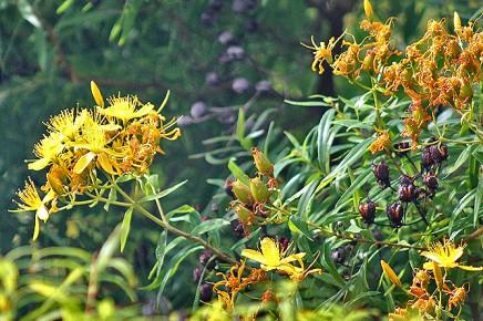 hypericum-canariensis-kanarisches-johanniskraut-granadillo-fruechte-gruen
