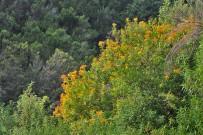 hypericum-canariensis-kanarisches-johanniskraut-granadillo-habitat