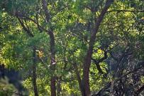 hypericum-canariensis-kanarisches-johanniskraut-granadillo-staemme