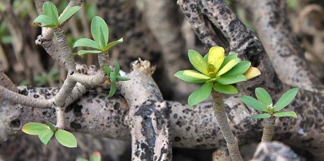 euphorbia-balsamifera-tabaiba-dulce-balsam-wolfsmilch-detalle-la-palma