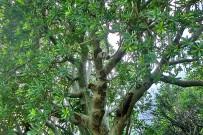 euphorbia-balsamifera-tabaiba-dulce-balsam-wolfsmilch-puntagorda