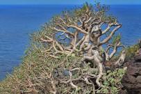 euphorbia-balsamifera-tabaiba-dulce-balsam-wolfsmilch-vieja