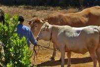 vaca-palmera-garafia-arrastre