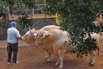 vaca-palmera-palmerische-kuh-garafia-arrastre-