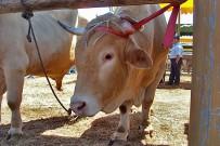 vaca-palmera-raza-palmera-san-antonio-del-monte