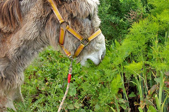 esel-wandern-burros-de-la-luz-la-palma-garafia-17-juanita-lecker-fenchel