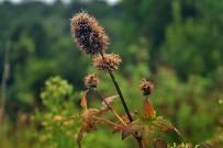 garitope-kanarischer-balsamstrauch-cedronella-canariensis-semillas