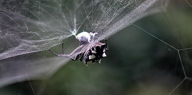 arana-de-tunera-opuntienspinne-cyrtophora-citricola-blanco-negro