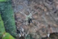 arana-de-tunera-opuntienspinne-cyrtophora-citricola-hembra-con-cocon