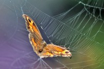 arana-de-tunera-opuntienspinne-cyrtophora-citricola-mariposa-atrapada