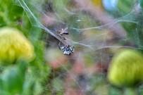 arana-de-tunera-opuntienspinne-cyrtophora-citricola-presa-abeja
