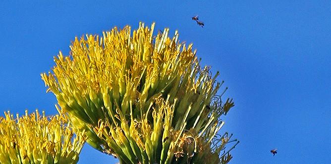 amerikanische-agave-agave-americana-pitera-abejas