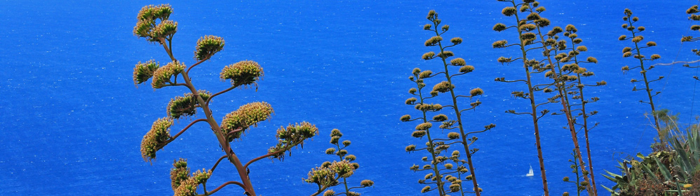 Amerikanische Agave - La Palma Travel