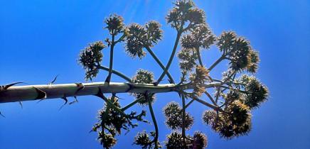 amerikanische-agave-agave-americana-pitera-contraluz