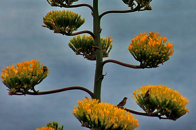 amerikanische-agave-agave-americana-pitera-pajaros