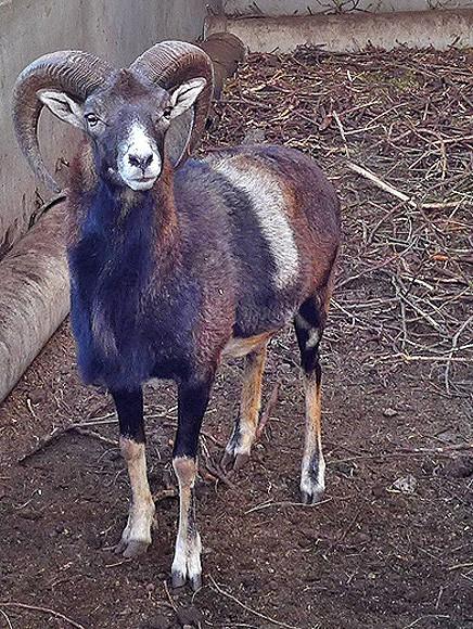 arruí-maehnenspringer-berberschaft-ammotragus-lervia