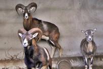 arruí-maehnenspringer-berberschaft-ammotragus-lervia-mit-jungtier