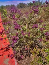 kanarischer-salbei-salvia-canariensis-salvia-arbusto