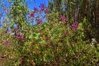 kanarischer-salbei-salvia-canariensis-salvia-arbusto-flores