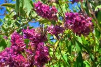 kanarischer-salbei-salvia-canariensis-salvia-flores-ramos