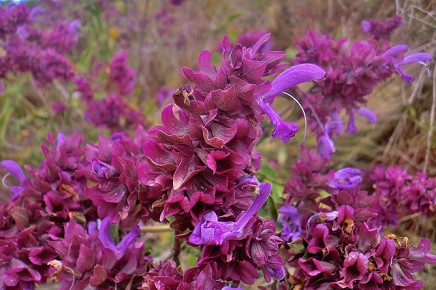 kanarischer-salbei-salvia-canariensis-salvia-flores-violetas