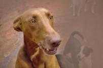 kanarischer-podenco-podenco-canario-canis-lupus-familiaris
