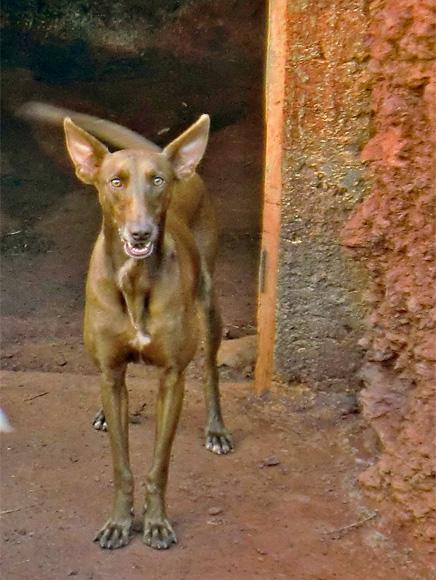 kanarischer-podenco-podenco-canario-canis-lupus-familiaris-jagdhund