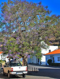 jacaranda-palisanderholzbaum-jacaranda-mimosifolia-baum
