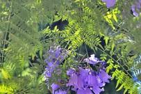 jacaranda-palisanderholzbaum-jacaranda-mimosifolia-blueten-blaetter