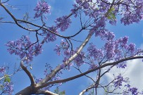 jacaranda-palisanderholzbaum-jacaranda-mimosifolia-blueten-flores