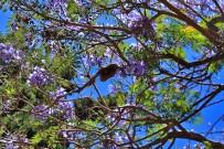 jacaranda-palisanderholzbaum-jacaranda-mimosifolia-blueten-fruechte