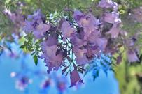 jacaranda-palisanderholzbaum-jacaranda-mimosifolia-blueten1