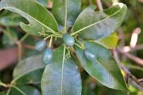 jardin-botanico-el-paso-barbuzano-barbusano-lorbeer-lauraceae