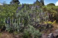 jardin-botanico-el-paso-tajinaste-natternkopf